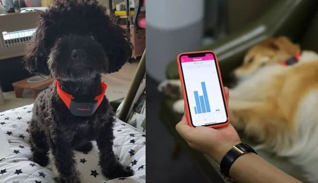 Collier intelligent pour chiens Petpuls avec détecteur d'émotions AI -